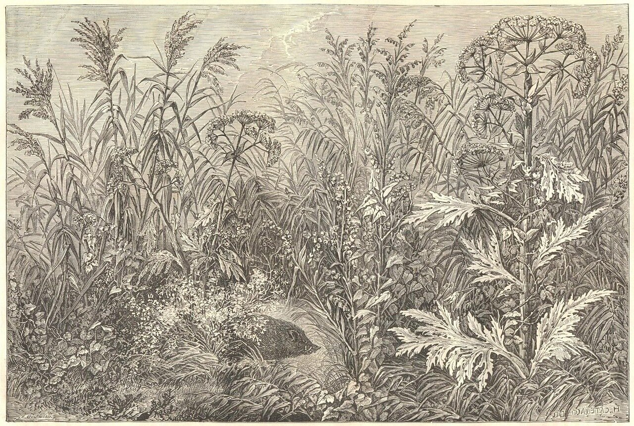 1862. Гигантские травы на берегах Амура
