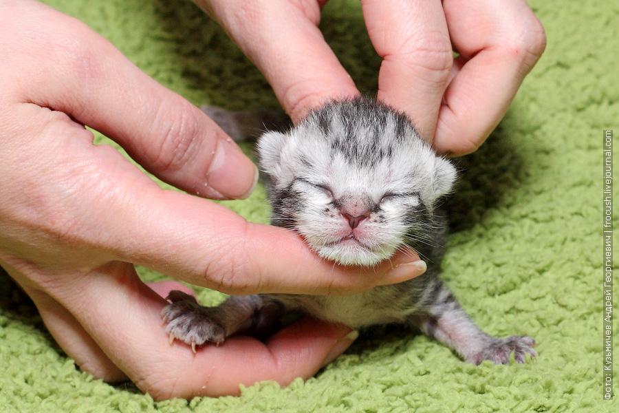 питомник новорожденные котята Бомбеи нетрадиционных окрасов