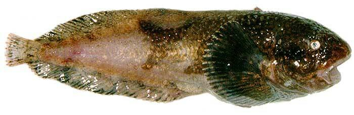 Липарис европейский или морской слизень