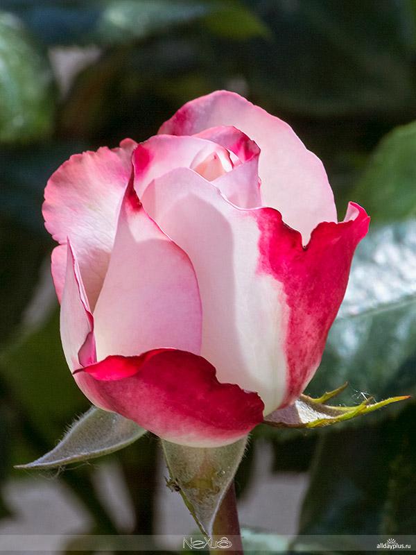 С Днём Рождения, Кагги ! | Я люблю все цветы, выпуск 83 / Роза «Ностальгия».