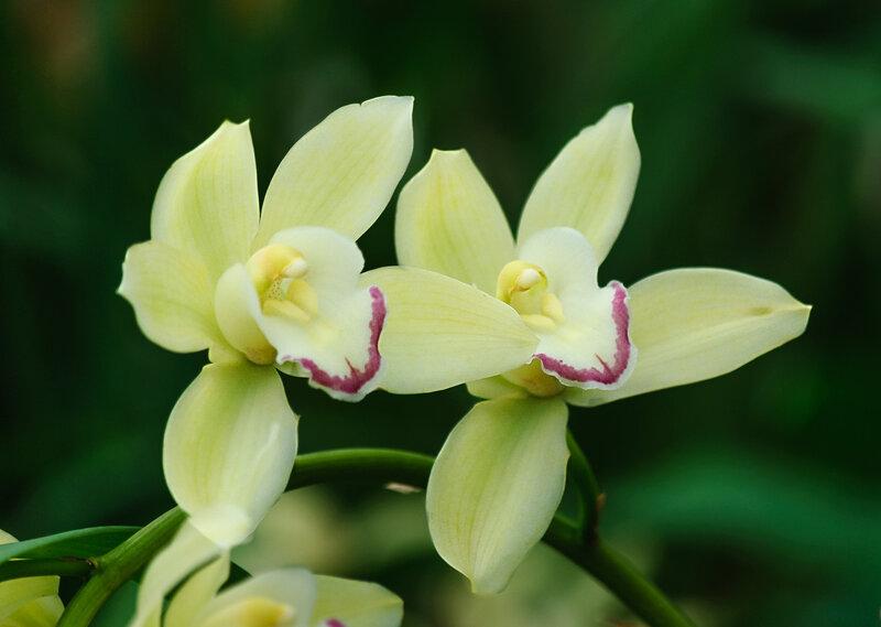 Поющие орхидеи