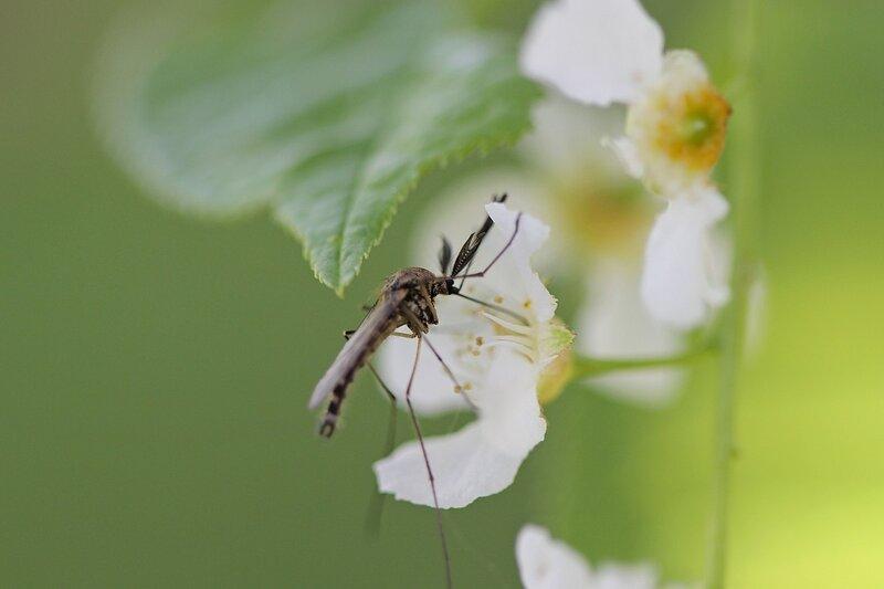 Комар-самец с пышными усами пьёт нектар из цветка