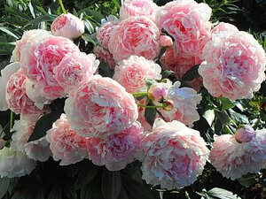 Пион молочноцветковый Сара Бернар (Sarah Bernhardt) Lemoine, 1906, Франция