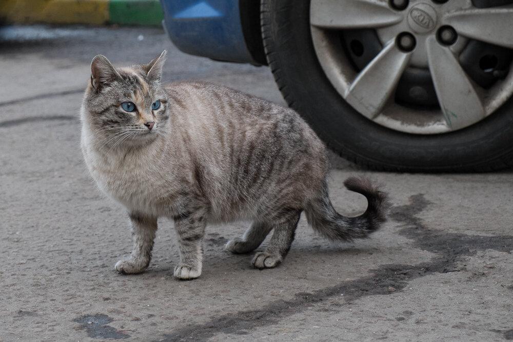 Косинские коты