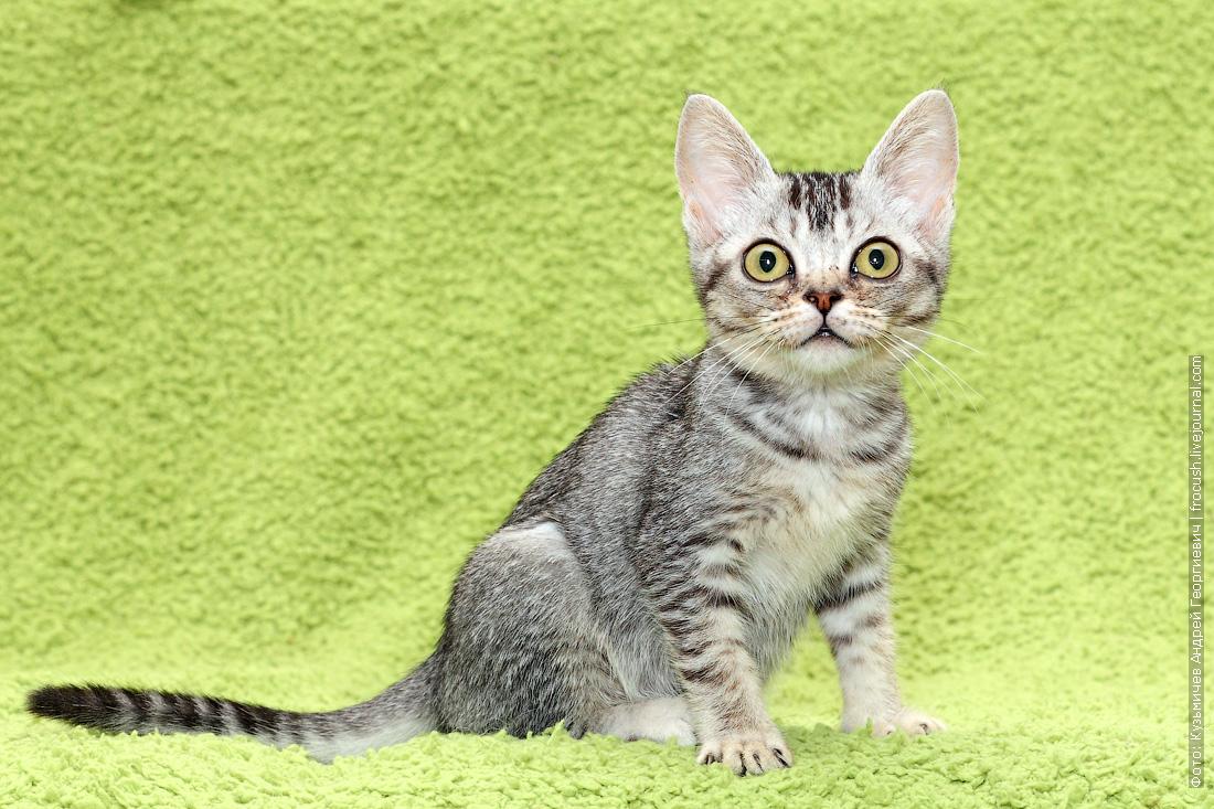 Бомбейский котенок нетрадиционного окраса