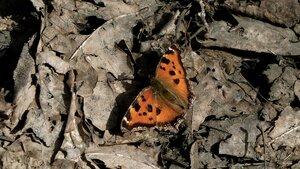 s:бабочки,s:дневные бабочки,c:рыжие
