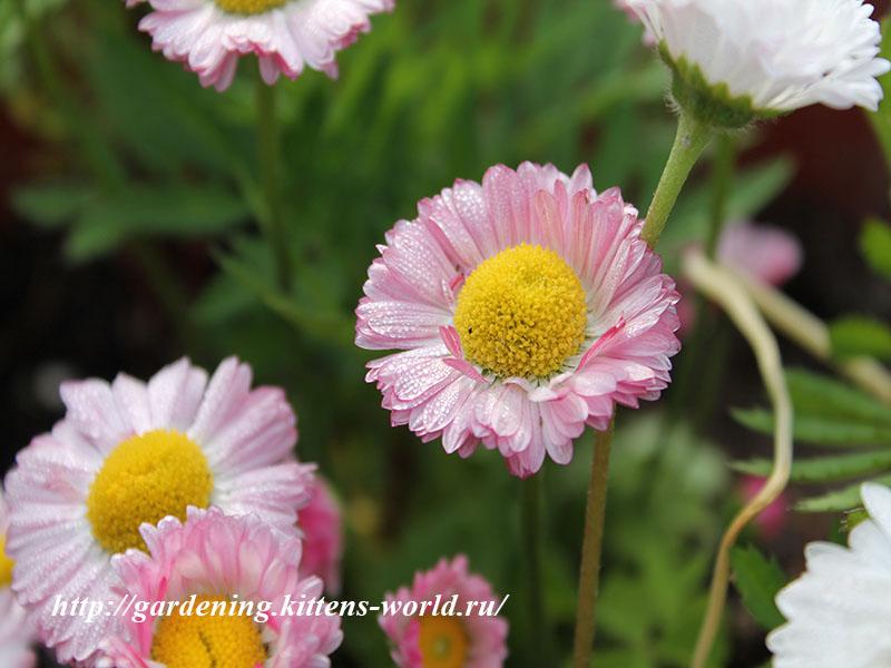 12 Многолетников для цветников, не требующие ухода - Маргаритки