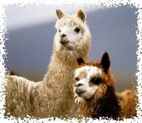 купить шерсть альпаки