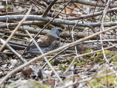 Дрозд-рябинник (Turdus pilaris) Автор фото: Вячеслав Степанов