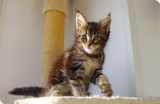 Мейн-кун котенок черный мрамор