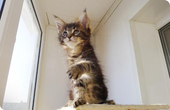 Мейн-кун котенок черный мрамор цена продажа