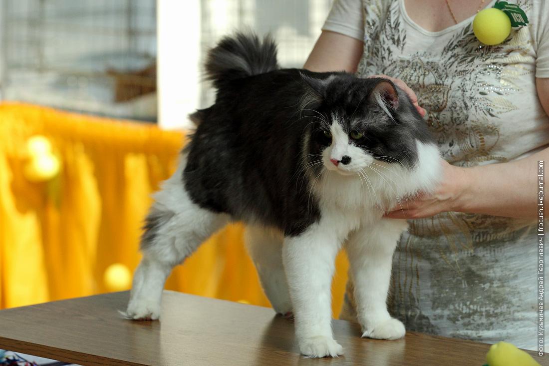 Курильский бобтейл кот фото