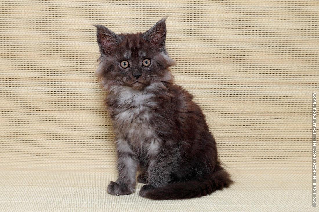 котенок мейн кун купить
