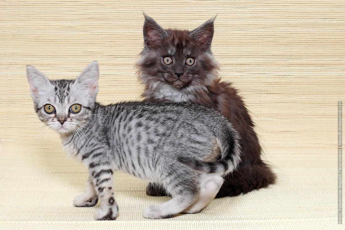 цена котенок мейн кун