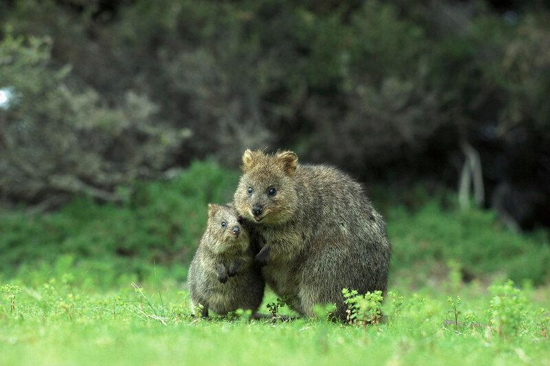 квокка короткохвостый кенгуру