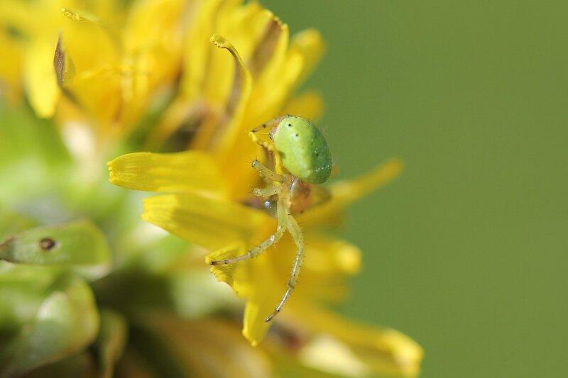 Зелёный паук из семейства пауков-кругопрядов, вероятно, Араниелла Тыквообразная (Araniella cucurbitina) на цветке одуванчика