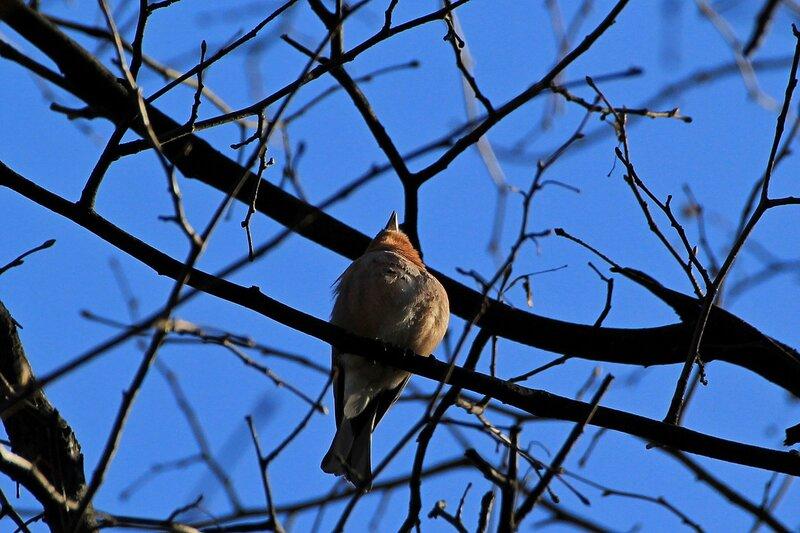 Зяблик (Fringilla coelebs), поющий песню на дереве в Александровском саду