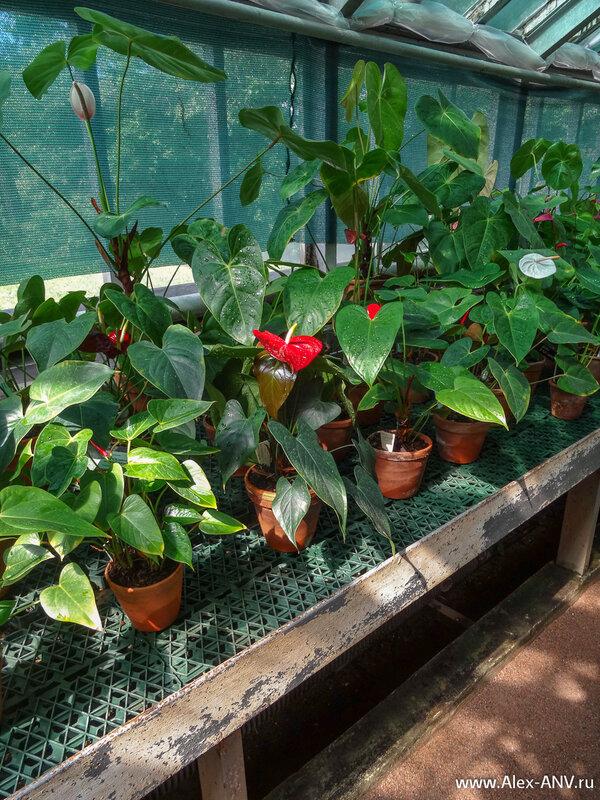 Довольно распространённое комнатное растение - Спатифиллюм. У него очень эффектные цветы.