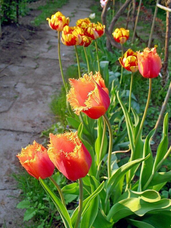 Тюльпановая весна