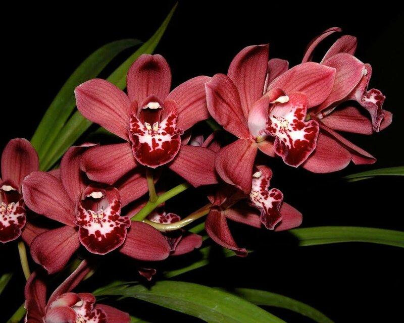 как орхидеи красного цвета картинки многое