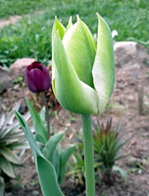 Тюльпан Сприн Грин