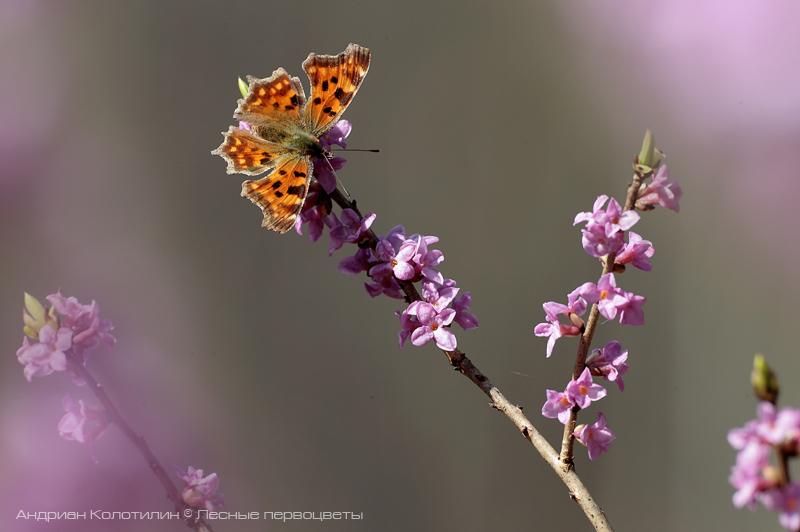 Волчеягодник и бабочка углокрыльница