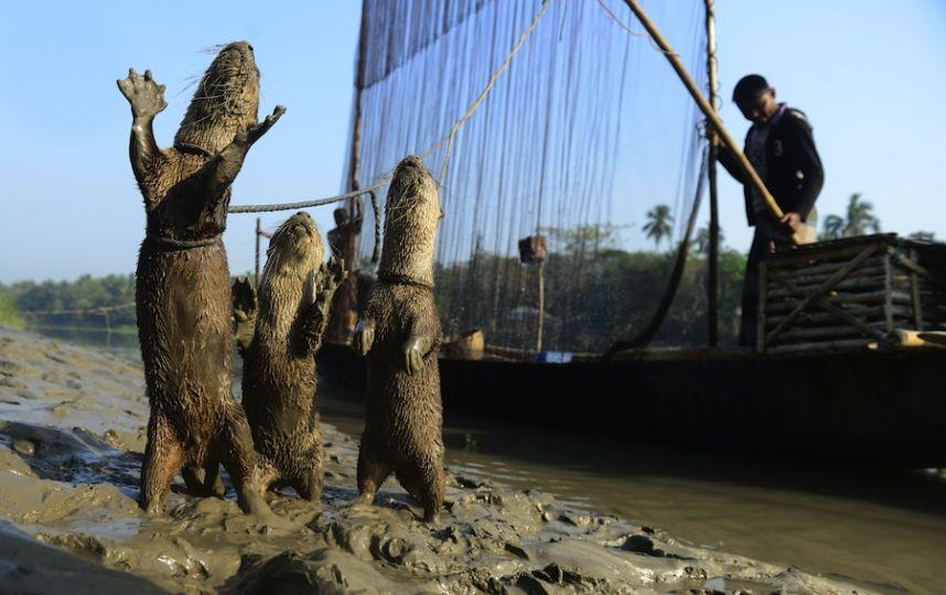 Выдры помогают рыбакам ловить рыбу