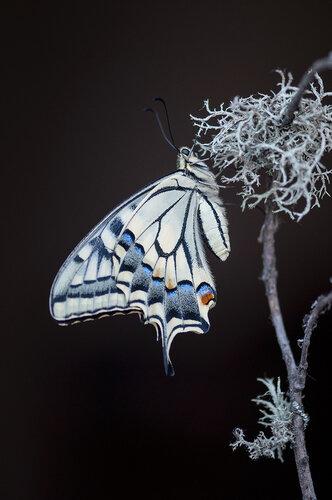 Парусник Махаон (Papilio machaon) Автор: Владимир Брюхов