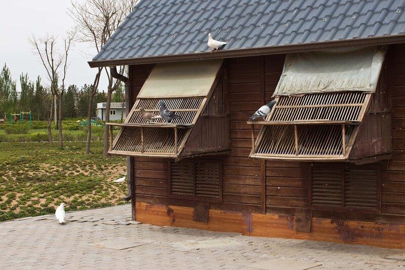 голубятня и голуби в городе Ордос, Внутренняя Монголия, Китай
