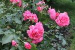 IMG_5275.JPG  роза клаймбер Розариум Ютерсен (Rosarium Uetersen),Kordes 1977