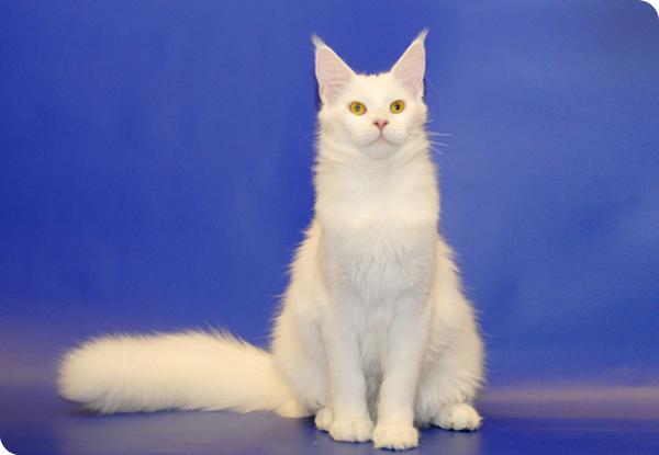 Кошка Grand-Pride Murmurcat Fortune.