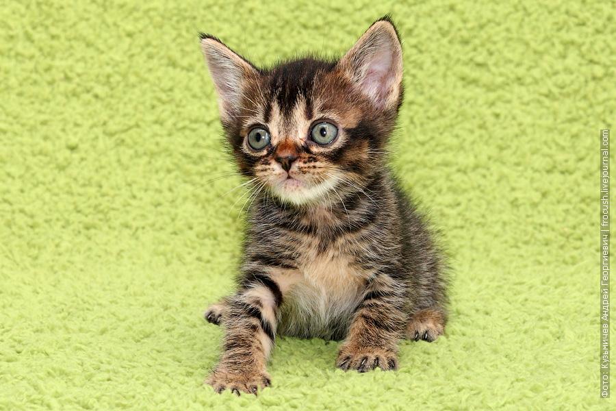 из питомника в Москве Бомбейские котята купить