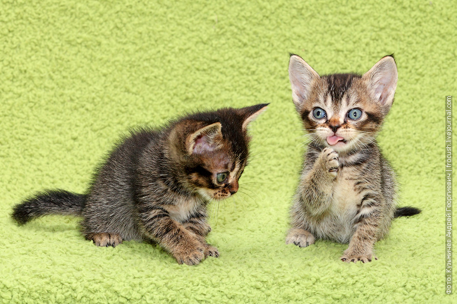 из питомника в Москве Бомбейские котята забронировать