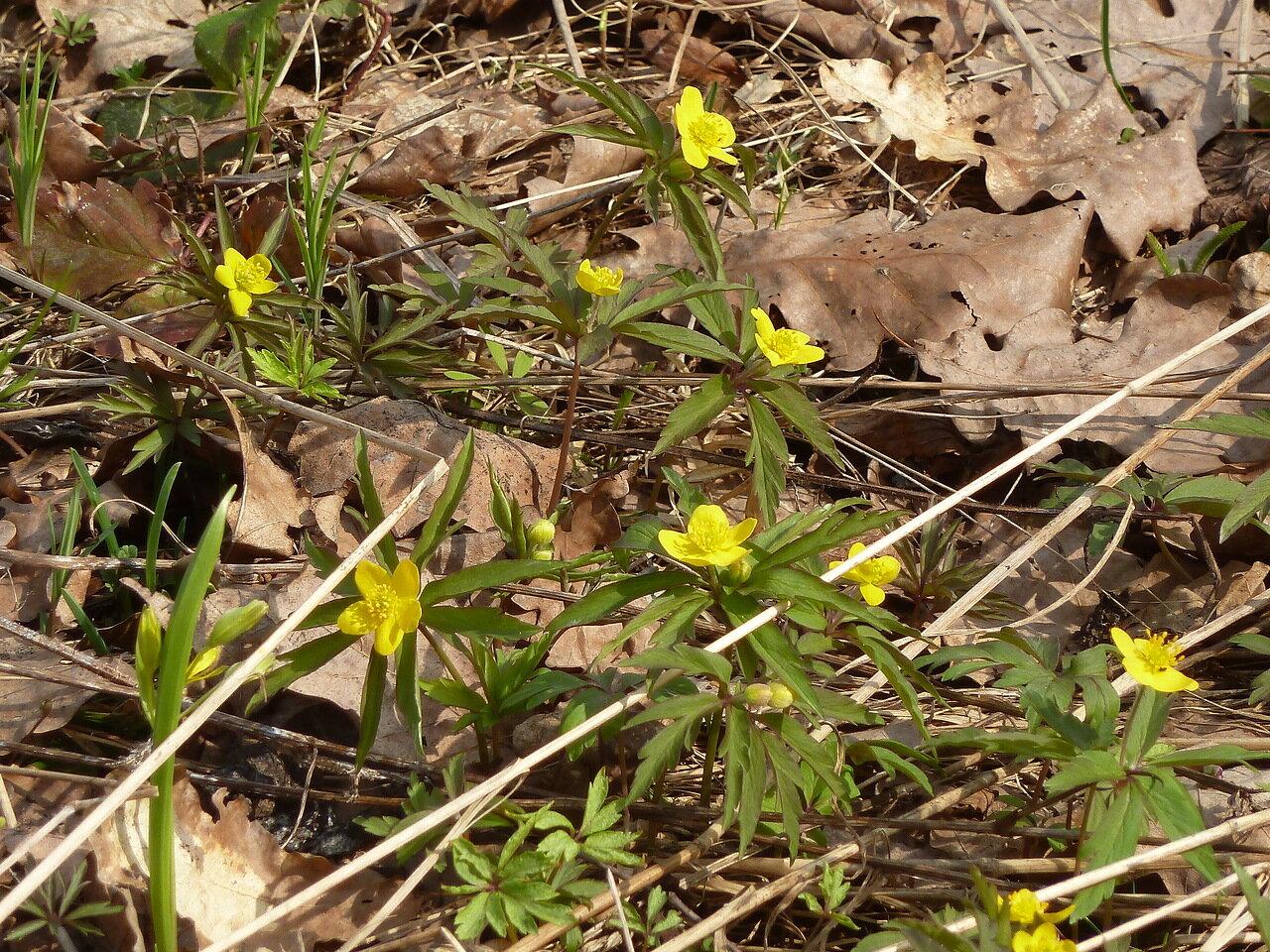 Ветреница лютиковая (Anemonoides ranunculoides)