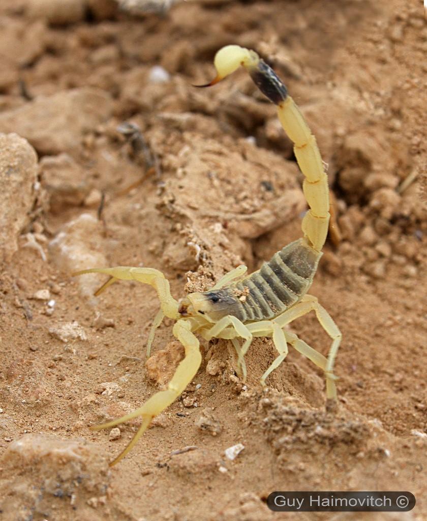Самый ядовитый из скорпионов