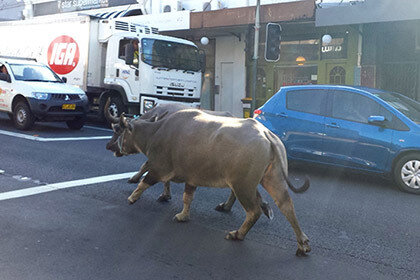 Два буйвола в Австралии сбежали во время снятия рекламного ролика