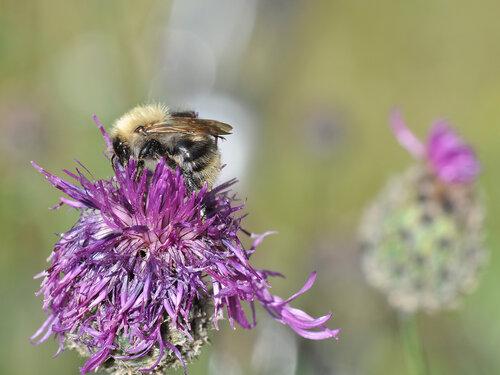 Apidae: Thoracobombus Самка Автор фото: Владимир Брюхов