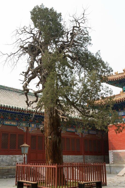 Старый кипарис, Храм Конфуция, Пекин