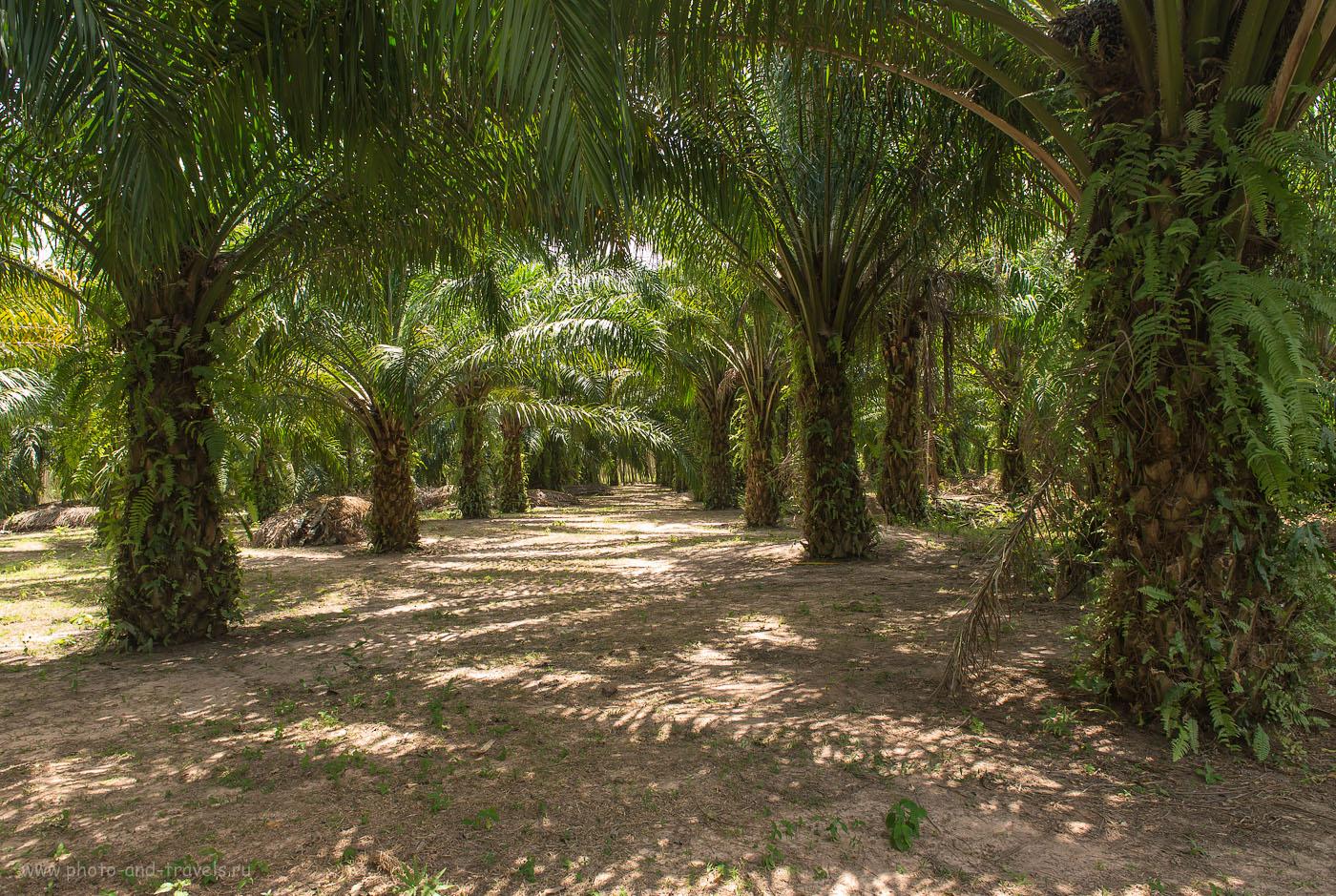 Фото 7. Поездка по Таиланду дикарем. В тени пальмовой рощи. (камера Nikon D610, объектив Nikkor 24-70/2,8, поляризационный фильтр Hoya HD Circular-PL, параметры съемки: ИСО 400, фокусное расстояние 24, дифарагма f/8.0, выдержка 1/50)