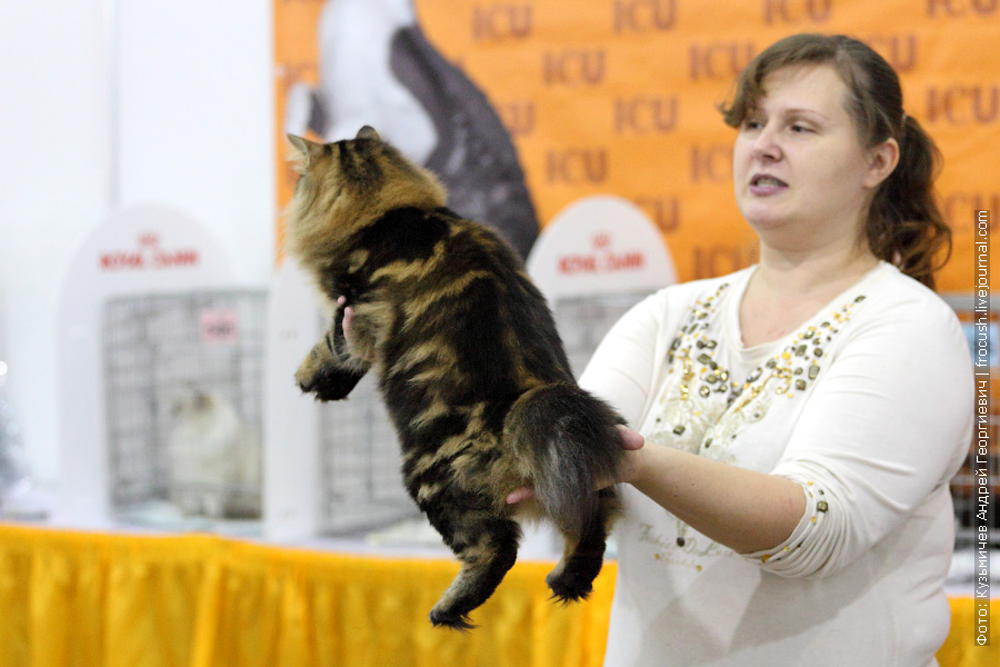 Курильский бобтейл. Кот. Gardemarin Says and Shows. Brown Classic Tabby