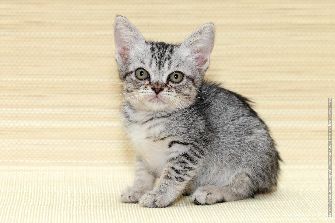 из питомника в Москве Бомбейская кошка нетрадиционного окраса