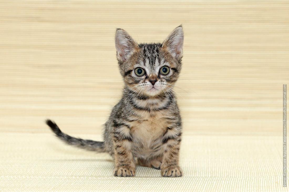Бомбейская кошка нетрадиционного окраса из питомника
