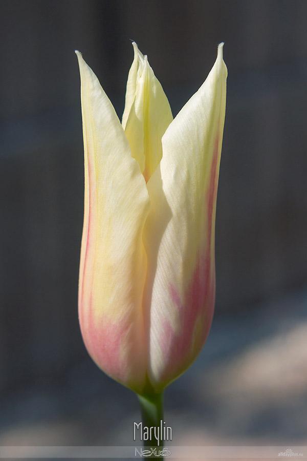 Я люблю все цветы, выпуск #101 | «Тюльпаны - улыбка Весны».