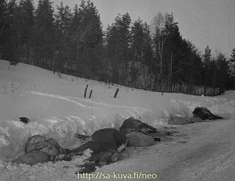 Lehmän raatoja Lahdenpohjan ja Sortavalan välillä.