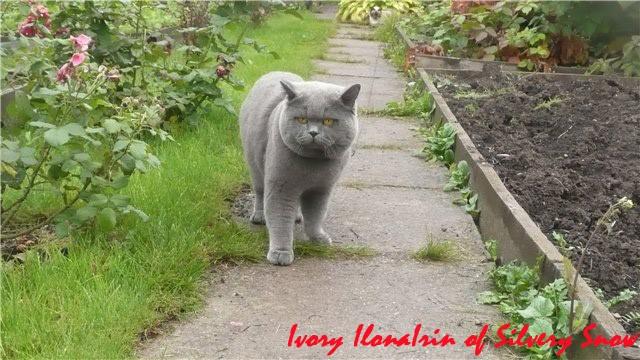 британский кот питомник британских короткошерстных