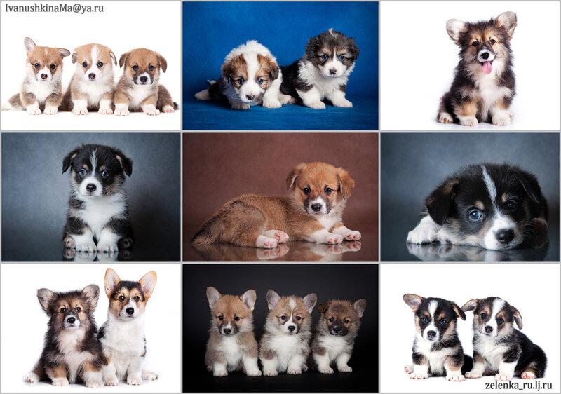 пофотографирую Ваших собак! 0_15beaa_adc71711_XL