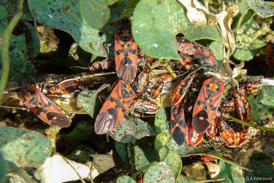 Spilostethus (синоним Lygaeus) pandurus