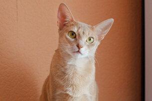 абиссинская кошка окрас фавн