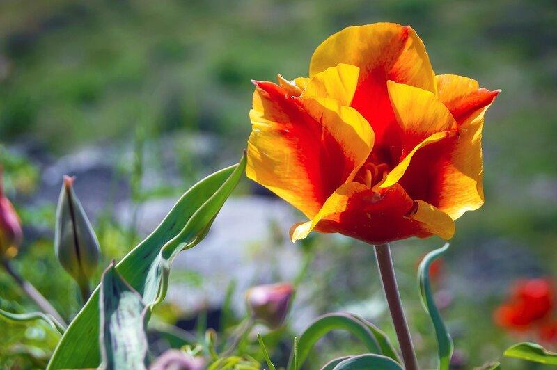 Тюльпан Грейга