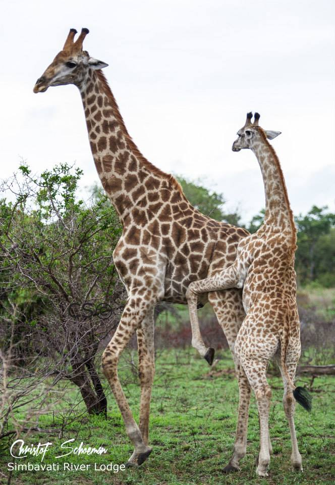 A young female giraffe trying to mate an older male at Simbavati River Lodge by Christof Schoeman Wildlife Photograph